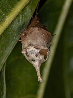 Skrzynia z jajkiem pająka longspinneret rodziny hersiliidae