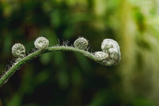 Skrzypek zielonej paproci
