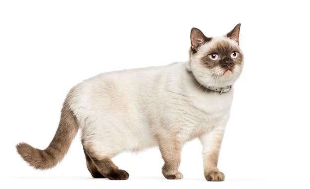 Skrzyżowany kot przed białym