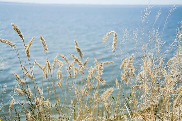 Skup się na suchej trawie, niewyraźne morze. natura, lato, koncepcja trawy.