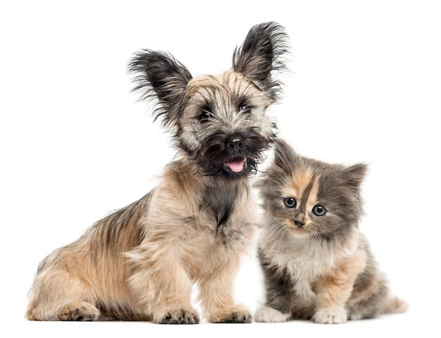 Skye terrier i europejski krótkowłosy kociak na białym tle