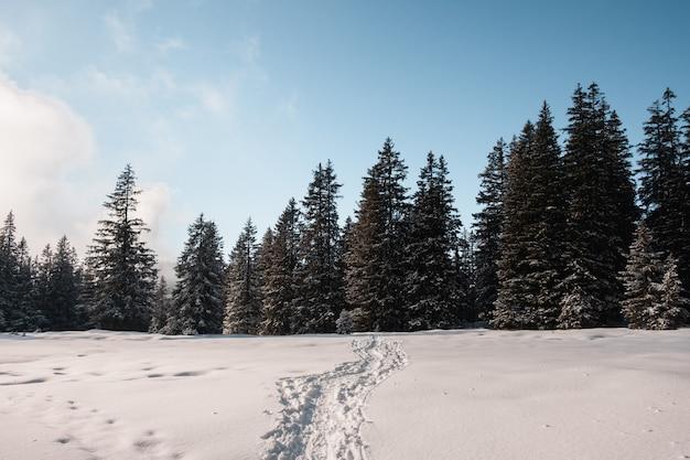 Ślady na śniegu prowadzące zimą do świerkowego lasu