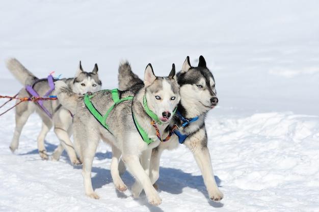 Sled husky dog race w zimie na śniegu