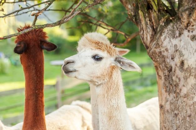 Śliczna alpaga z śmieszną twarzą relaksuje na rancho w letnim dniu. domowe alpaki pasa na paśniku w naturalnym eco uprawiają ziemię wsi tło. koncepcja opieki nad zwierzętami i rolnictwa ekologicznego