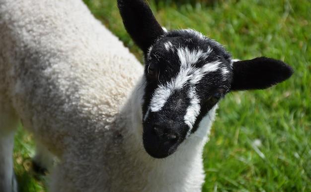 Śliczna beulah nakrapiana twarz jagnięciny z czarno-białą nakrapianą twarzą.