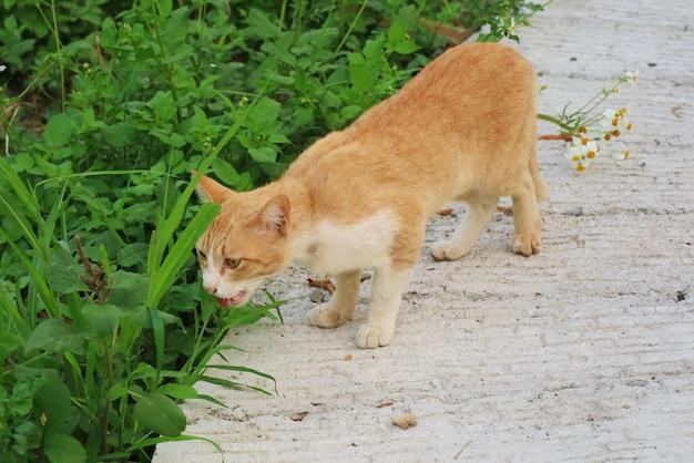 Śliczna biała i żółta kota łasowania trawa. trawy są naturalnym lekarstwem dla kota.