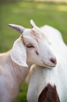 Śliczna biała koza opierająca się na innej kozie