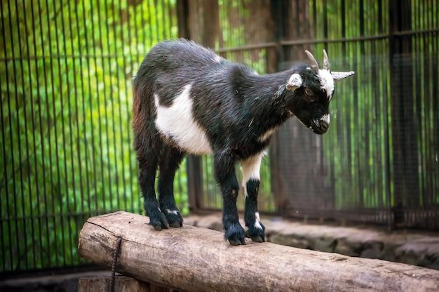 Śliczna czarno-biała koza w zoo