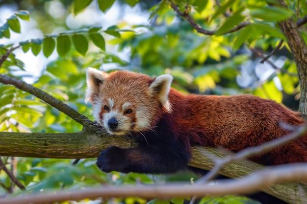 Śliczna czerwona panda lub ailurus fulgens na drzewie