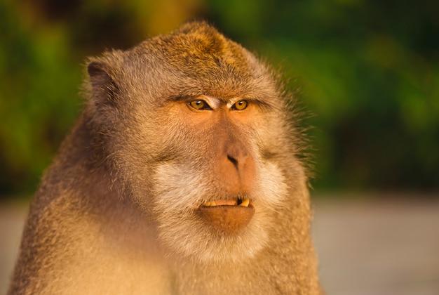 Śliczna dorosła małpa w tropikalnym lesie deszczowym. bali, indonezja.