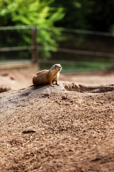 Śliczna dzika gopher pozycja w zielonej trawie. obserwując młodą wiewiórkę, stoi na straży dzikiej przyrody
