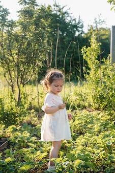 Śliczna i szczęśliwa przedszkolak zbiera i zjada dojrzałe truskawki w ogrodzie w letni dzień o zachodzie słońca. szczęśliwe dzieciństwo. zdrowa i przyjazna dla środowiska uprawa.