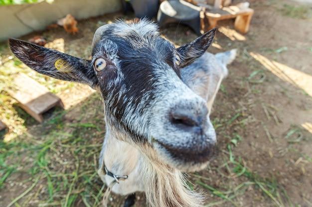 Śliczna kózka relaksuje w rancho gospodarstwie rolnym w letnim dniu. kozy domowe pasące się na pastwiskach i do żucia, na wsi. koza w naturalnej ekologicznej farmie, która produkuje mleko i ser.