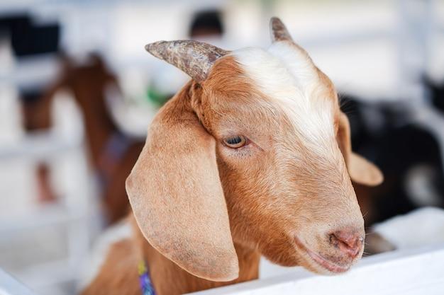 Śliczna mała brązowa koza robi smutną minę w straganie.