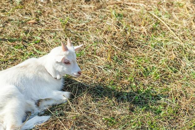 Śliczna młoda dziecko kózka relaksuje w rancho gospodarstwie rolnym w letnim dniu. kozy domowe pasące się na pastwiskach i do żucia, na wsi. koza w naturalnej ekologicznej farmie, która produkuje mleko i ser.
