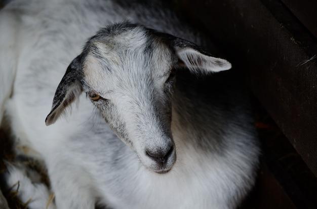 Śliczna młoda koza odpoczywa na padoku. zwierzę gospodarskie w niskiej tonacji fotografii