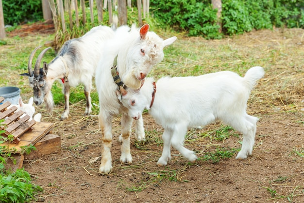 Śliczna pisklęca kózka relaksuje w rancho gospodarstwie rolnym w letnim dniu. kozy domowe pasące się na pastwiskach i do żucia. koza w naturalnej ekologicznej farmie, która produkuje mleko i ser.