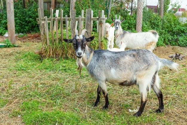 Śliczna pisklęca kózka relaksuje w rancho gospodarstwie rolnym w letnim dniu. kozy domowe pasące się na pastwiskach i do żucia, na wsi. koza w naturalnej ekologicznej farmie, która produkuje mleko i ser.