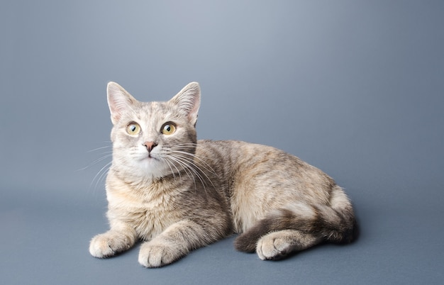 Śliczna pręgowana, szara kotka krótkowłosa w paski leży na szarym tle ciekawy wygląd zwierzaka