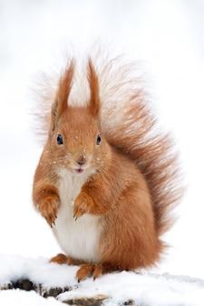 Śliczna puszysta wiewiórka na białym śniegu w zima lesie