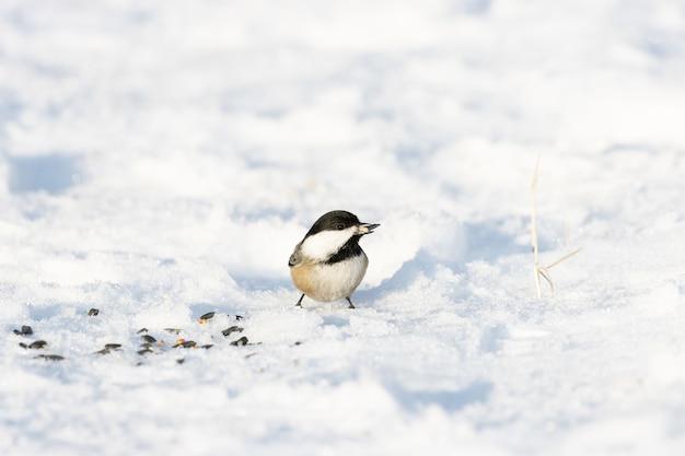 Śliczna sikora carolina stojąca na zaśnieżonej powierzchni ziemi z niewyraźną przestrzenią