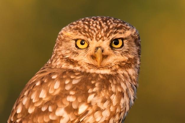 Śliczna sowa, mały ptak z dużymi oczami