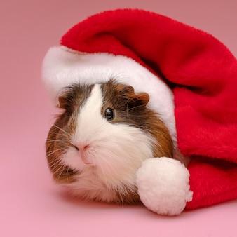 Śliczna świnka morska w czerwonym kapeluszu