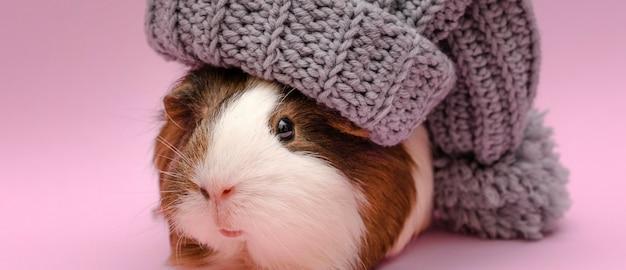Śliczna świnka morska w kapeluszu