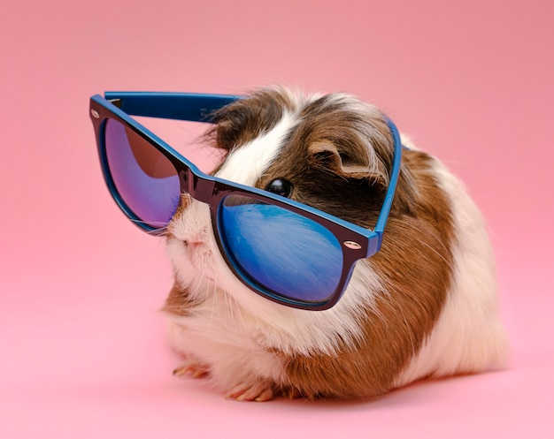 Śliczna świnka morska w okularach przeciwsłonecznych