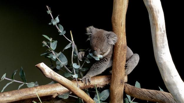 Śliczna szara australijska koala