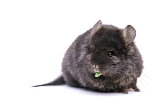 Śliczna szara szynszyla zjada na białym tle domowe futrzane zwierzę od gryzoni