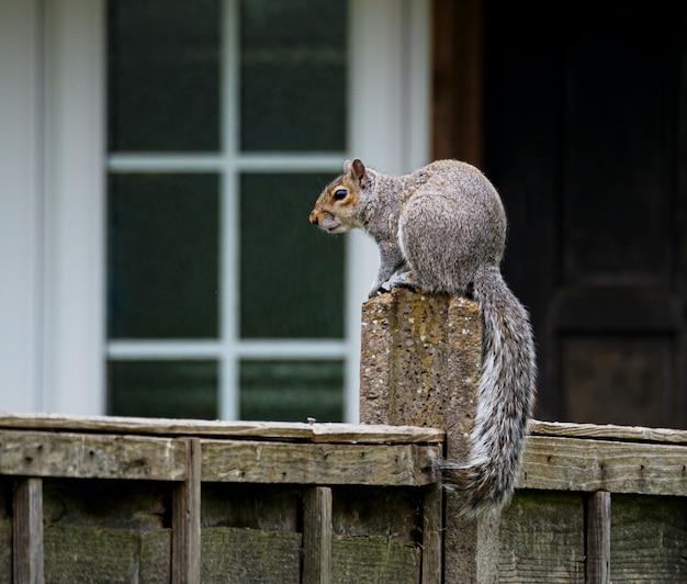 Śliczna szara wiewiórka