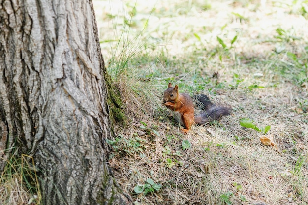 Śliczna wiewiórka na drzewie patrząc na letnią scenę