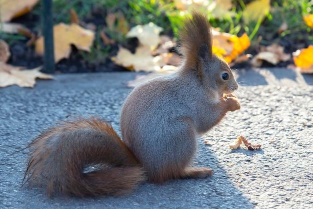 Śliczna wiewiórka siedzi na drodze w parku