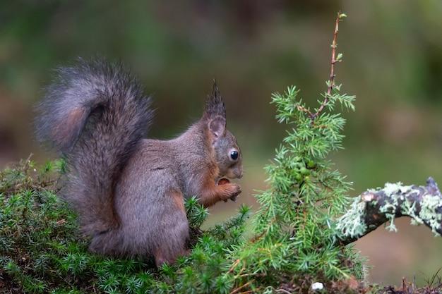 Śliczna wiewiórka w lesie, jedzenie orzechów.