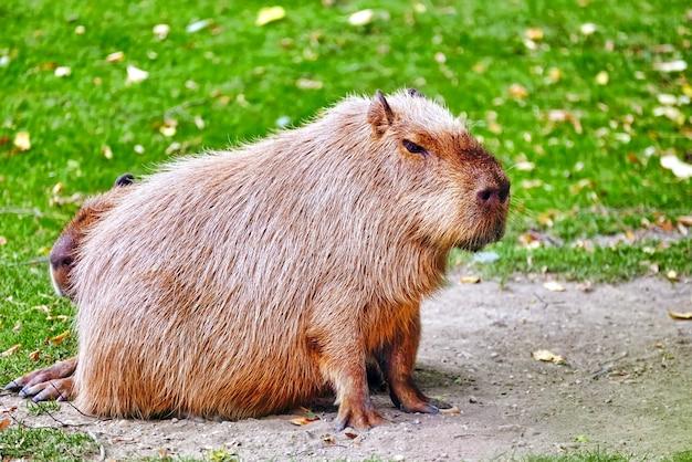 Śliczna woda dla świń (kapibara) w ich naturalnym środowisku na zewnątrz.