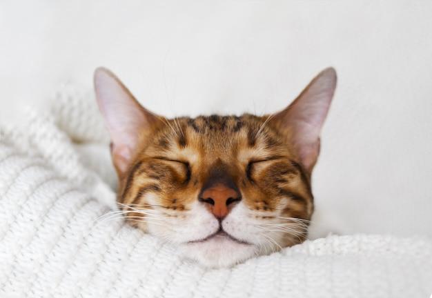 Śliczne brązowe zamknięte oczy śpiący kot bengalski leżący na białej dzianinowej kracie w przytulnym domu na białej powierzchni, zbliżenie