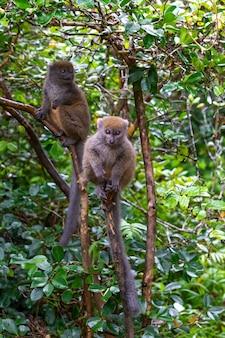 Śliczne futrzane lemury w przyrodzie