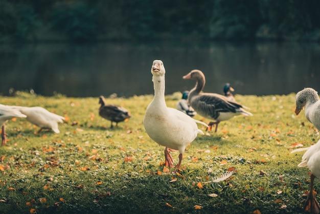 Śliczne kaczki stojące na trawiastej ziemi w pobliżu jeziora