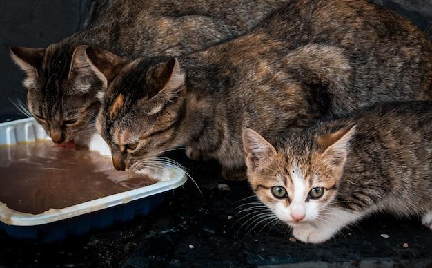 Śliczne kocięta jedzą z białego garnka