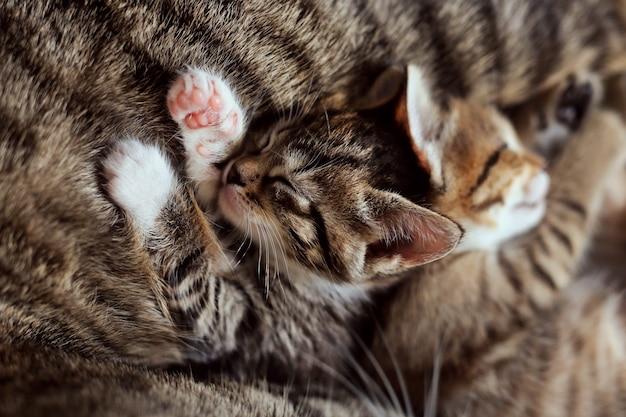 Śliczne małe kocięta w paski śpią na owłosionym brzuchu mojej matki. bezdomne koty