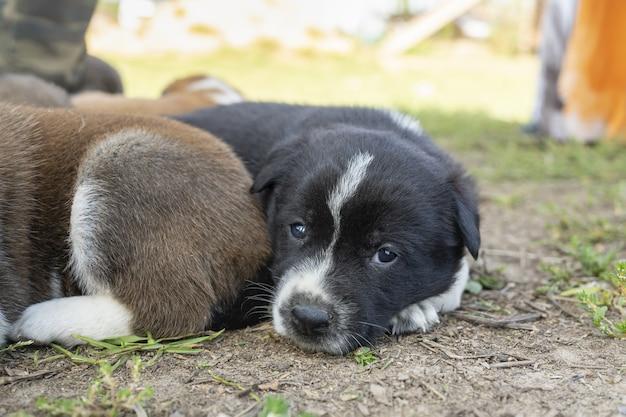 Śliczne małe młode szczenięta rasy alabai w gospodarstwie hodowca psów pieszczoty zoo smutna samotna przyjaźń