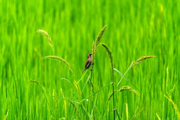 Śliczne Małe Ptaki Na Zielonych Polach Ryżowych Rice Darmowe Zdjęcia