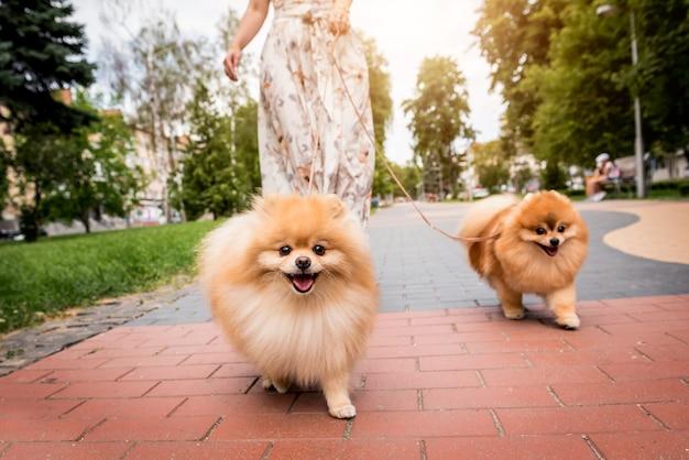 Śliczne psy pomorskie w parku
