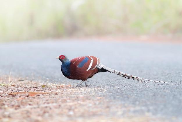 Śliczne ptaki w przyrodzie, bażant hume'a, bażant pani hume, bażant ogoniasty (syrmaticus humiae)