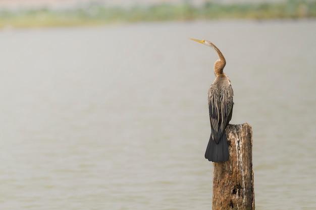 Śliczne ptaki w przyrodzie, orientalne wężówki, snakebird (anhinga melanogaster)