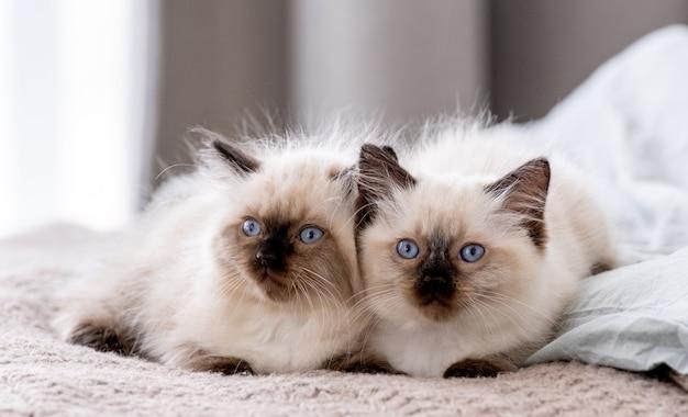 Śliczne puszyste kocięta ragdoll leżące blisko siebie i śpiące razem w łóżku. portret dwóch kotów kotów rasy amerykańskiej odpoczynek w domu przy świetle dziennym. małe rasowe koty domowe drzemiące