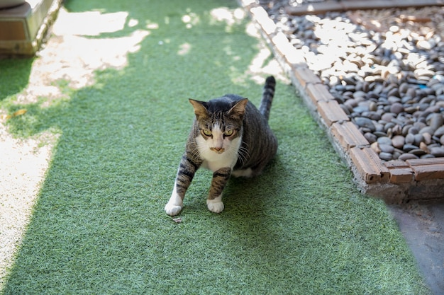 Śliczne szare felis lub koty bawiące się na podłodze, selektywne ustawianie ostrości