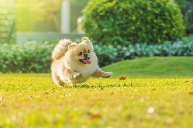 Śliczne szczenięta pomorskie pekińczyk rasy mieszanej pies biegnie po trawie ze szczęścia.