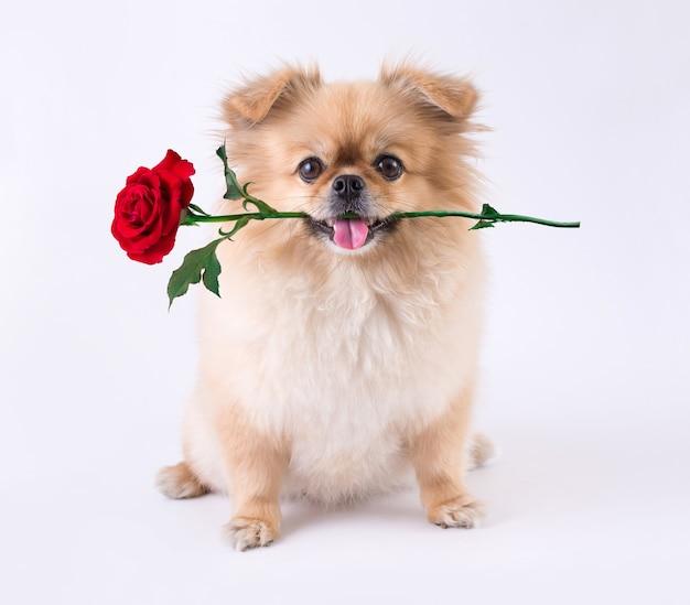 Śliczne szczenięta pomorskie pekińczyk rasy mieszanej pies siedzi z różą w ustach na białym tle